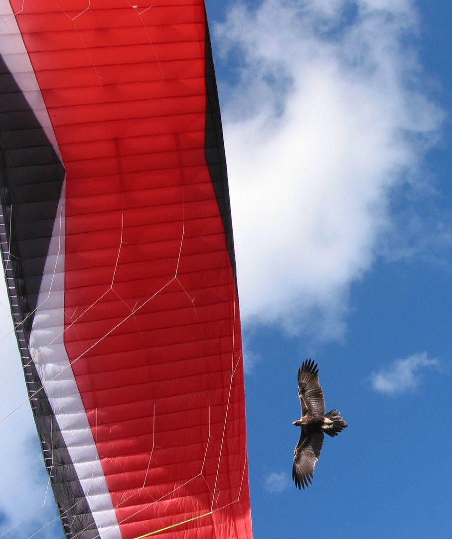Paragliding with a Wedge Tailed Eagle at Mt Borah Manilla